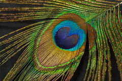 Fragment of peacock feather Stock Image