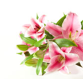 A fragment of pink  lilies ' bunch Royalty Free Stock Photo