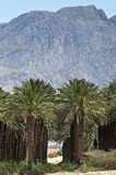 Fragment of plantation of date palms in desert Stock Photos