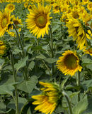 Fragment of a plantation of sunflowers during blossoming Royalty Free Stock Photos
