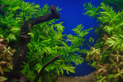 Fragment of the planted aquarium Royalty Free Stock Image
