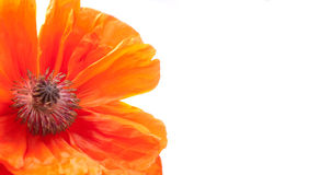 Fragment of poppy isolated over white background. Royalty Free Stock Photos