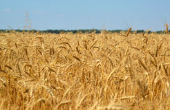Fragment of ripe wheat field in late July. Fragment of a ripe wheat field in late July royalty free stock images