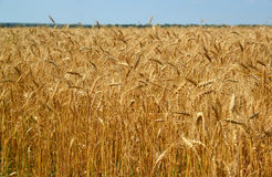 Fragment of ripe wheat field in late July. Fragment of a ripe wheat field in late July Stock Photography