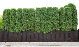 Fragment of a rural fence evergreen plants Stock Image