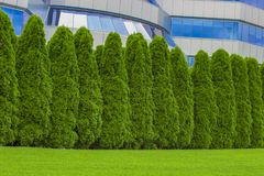 Fragment of a rural fence hedge from evergreen plants the Thuja.  Stock Photos