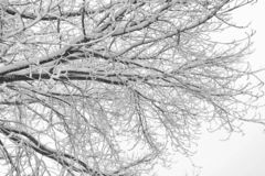 Fragment of a tree, branches covered with snow, black and white photo royalty free stock image