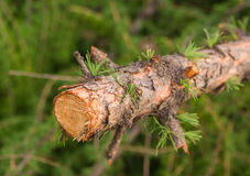 Fragment of tree trunk stick thin with leaves needles larch Stock Photos