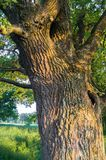 Fragment of the trunk of a relic oak tree near Biserovo village, Russia. Picturesque peaceful corner of nature away from the urban noise and hustle. Cheerful stock photography