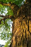 Fragment of the trunk of a relic oak tree near Biserovo village, Russia. Picturesque peaceful corner of nature away from the urban noise and hustle. Cheerful royalty free stock photography