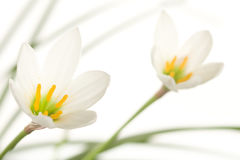 A fragment of two lilies on a white background Stock Photo