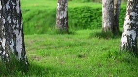 Fragment van Berkbosje met boomboomstammen en gras stock video