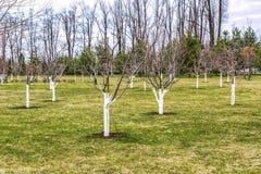 Fragment van een goed-verzorgde boomgaard De jonge bomen worden in orde gemaakt en met beschermende verf behandeld stock afbeelding