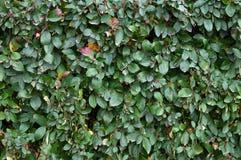 Fragment van een groene haag Royalty-vrije Stock Foto's