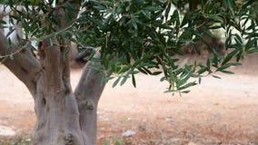 Fragment van een olijfboom zonder vruchten stock footage
