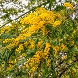 Fragment van een struik van een mimosa met de verworpen gele bloemen Close-up royalty-vrije stock foto