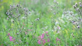Fragment van mooie weide met wilde bloemen, Rusland stock footage