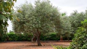 Fragment van tuin met olijfbomen in November in Cyprus stock video
