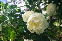 Fragment van weelderige die dogrosestruik, rijk met witte bloemen wordt beslagen Royalty-vrije Stock Foto's
