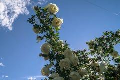 Fragment van weelderige die dogrosestruik, rijk met witte bloemen wordt beslagen Royalty-vrije Stock Foto