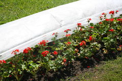 Fragment von Blumenbeeten mit roten Blumen im Stadt Park, die Dekoration des Gartens landschaftsgestaltung Stockfoto