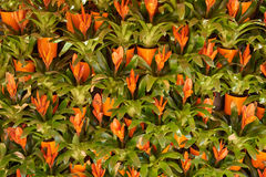 Fragment of a wall decorated with Guzman (Guzmania) Royalty Free Stock Photography