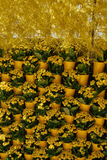 Fragment of a wall decorated with yellow flowers of Kalanchoe Royalty Free Stock Photography