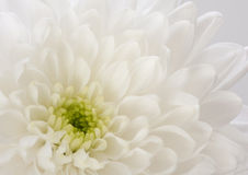 Fragment of  white Chrysanthemum flower. Stock Images