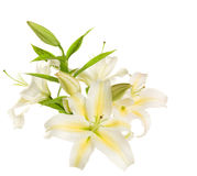 A fragment of white lilies ' bunch Royalty Free Stock Photos