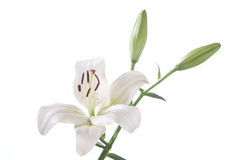 A fragment of white lily Stock Images