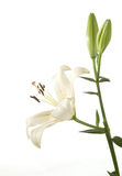 A fragment of white lily Stock Photos