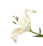 A fragment of white lily Royalty Free Stock Images