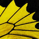 A fragment of a wing of golden birdwing butterfly, Triodes rhadamantus. Stock Image