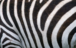 Fragment of zebra skin. Kenya. Tanzania. National Park. Serengeti. Maasai Mara. Stock Images