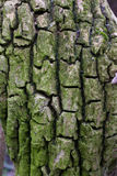 Fragmented tree bark. Fragmented brownish tree bark, close-up shot Royalty Free Stock Photos