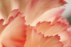 Fragmento da flor do cravo Imagens de Stock Royalty Free