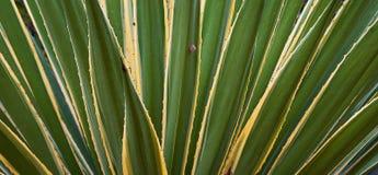 Fragmento das folhas da agave Foto de Stock Royalty Free