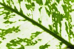 Fragmento de la hoja de la planta de la ventana Imagen de archivo libre de regalías