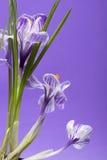 Fragmento de um arbusto do açafrão em uma violeta Foto de Stock