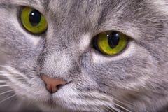 Fragmento de um focinho de um gato cinzento com olhos brilhantes Imagens de Stock