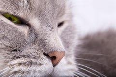 Fragmento de um focinho de um gato cinzento com os olhos piscados Fotografia de Stock