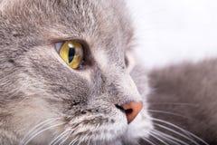 Fragmento de um focinho de um gato cinzento em um perfil Foto de Stock