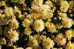 Fragmento de um grande arbusto do crisântemo com flores e os botões amarelos imagens de stock royalty free