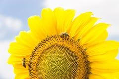 Fragmento de un girasol de la flor con las abejas Fotografía de archivo libre de regalías