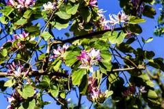Fragmento del árbol floreciente de la magnolia contra la perspectiva del cielo azul Fotografía de archivo