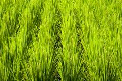 Fragmento del campo del arroz Imágenes de archivo libres de regalías
