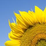 Fragmento del girasol amarillo iluminado por el sol a través del cielo azul Imágenes de archivo libres de regalías