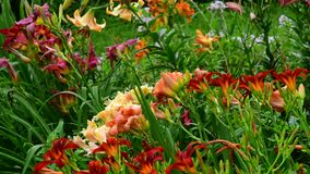 Fragmento del macizo de flores con diversas variedades de lirios almacen de metraje de vídeo