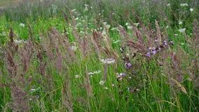Fragmento del prado hermoso con las hierbas y las flores salvajes, Rusia almacen de video