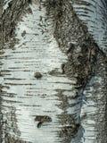 Fragmento del tronco del abedul con el modelo natural de la corteza de abedul Foto de archivo